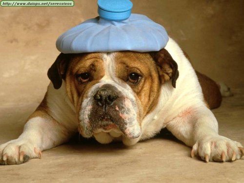 headache-bulldog