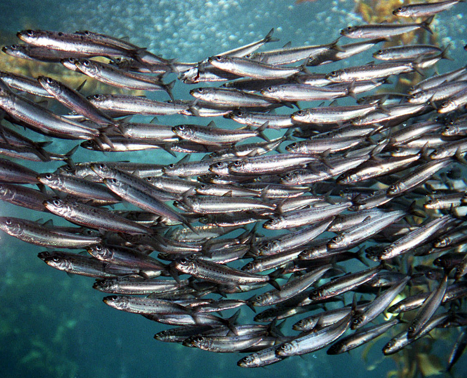 Sardines one regular guy writing about food exercise for Healthiest types of fish