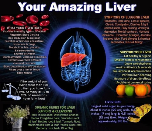 Interesting-Facts-About-The-Liver-For-Kids