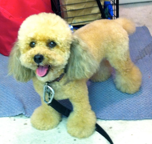 This is my dog Gabi who has just been groomed.