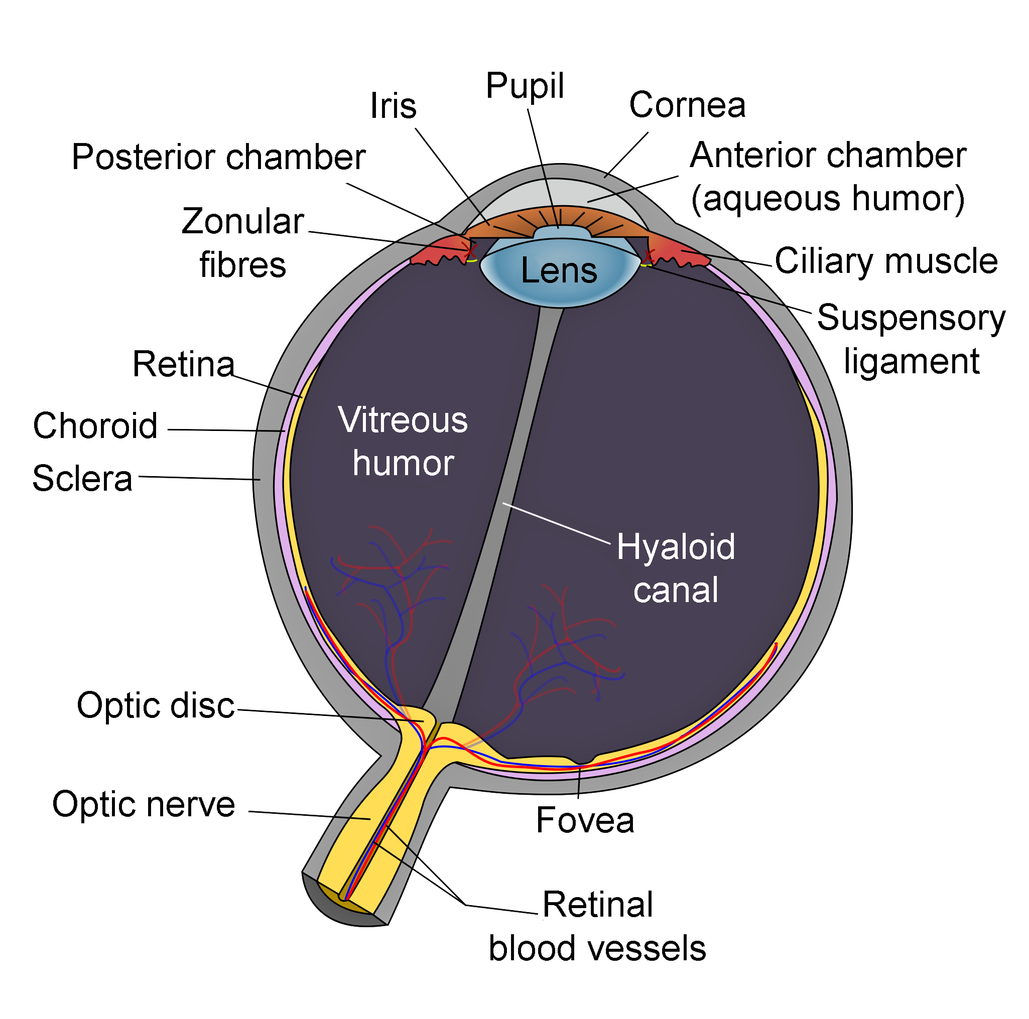 Schematic_diagram_of_the_human_eye_en-edit.png