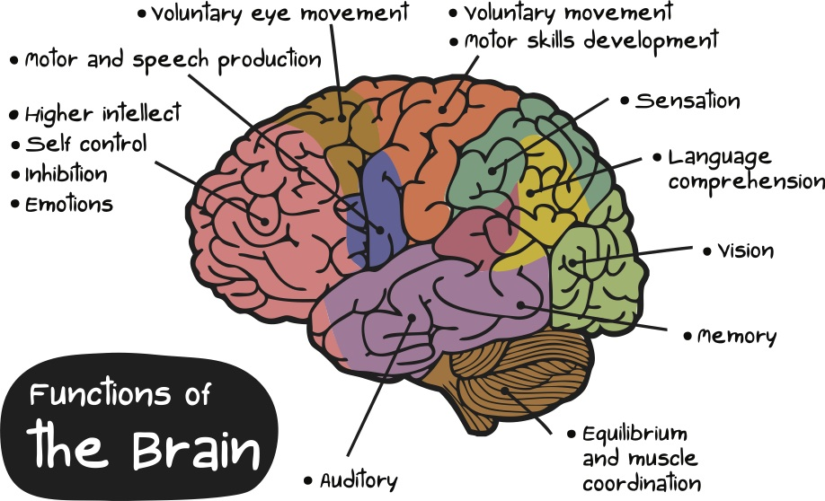 brain-diagram.jpg