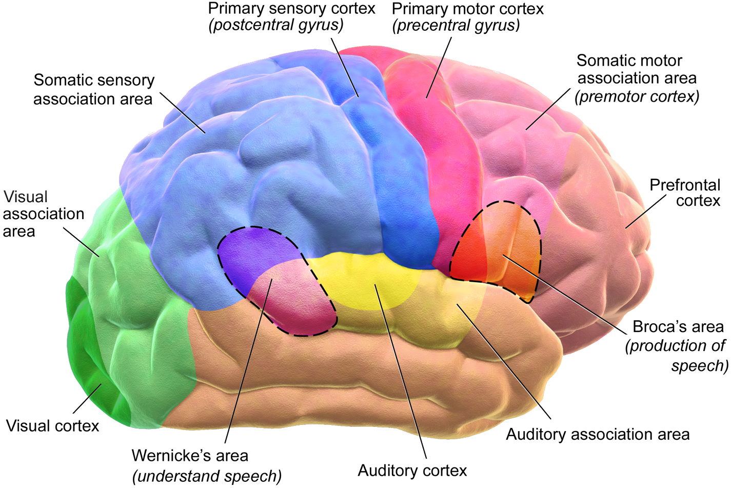 Blausen_0102_Brain_Motor&Sensory_(flipped)