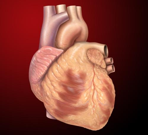 Heart_anterior_exterior_view.jpg