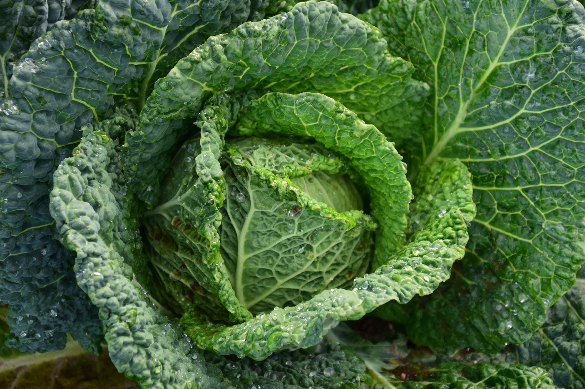 focus photography of green cabbage